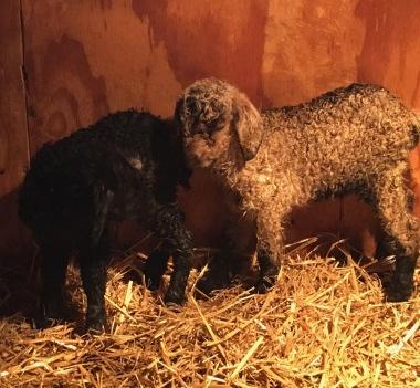 new goats